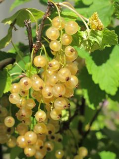 white_currants_1